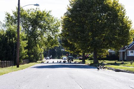 Flock of geese walking down the street