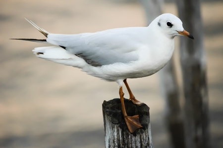 mangrove forest: Seagull at mangrove forest  Stock Photo