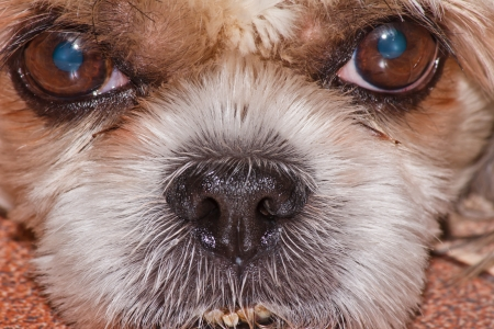 Little dog face close up Stock Photo - 13831579