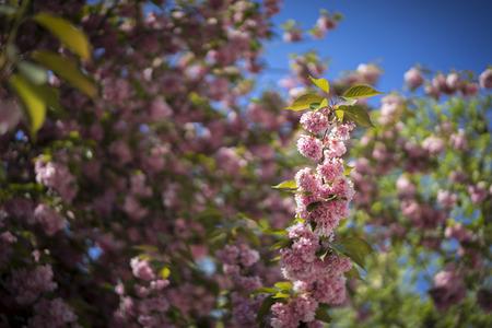 Cherry blossom tree. Spring