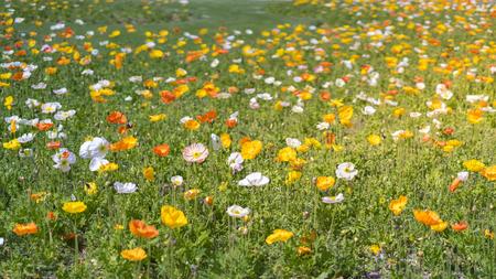 Flores de amapola de flores Foto de archivo - 101137890