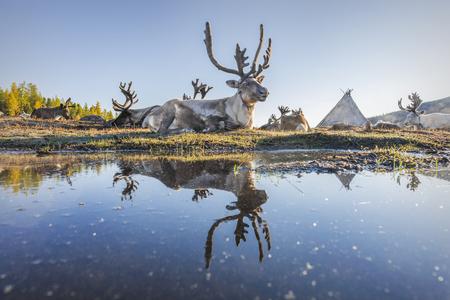 Tsaatan Reindeer Reflection Stock Photo