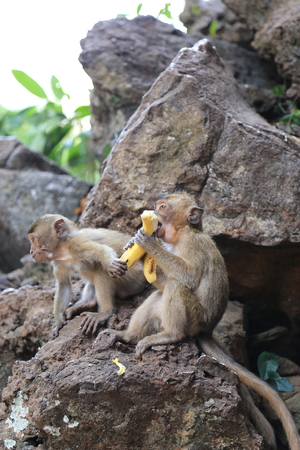 A monkey eating banana when another monkey trying to steal banana