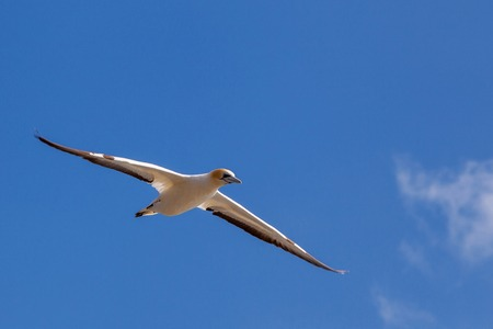 maneuvering: The flying Gannet in cloud at Muriwai Beach, Auckland, New Zealand Stock Photo