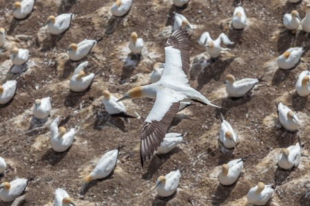 The Austalasian Gannet Flying Above Gannet Colony at Muriwai Beach, Auckland, New Zealand photo