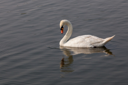 White swan looking down to water with its reflection on the water surface photo