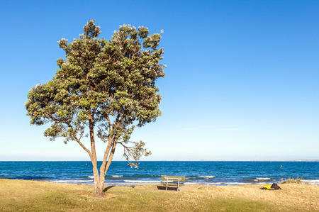 myrtaceae: The pohutukawa tree and bench on the beach with ocean in clear sky day, travelling in New Zealand.