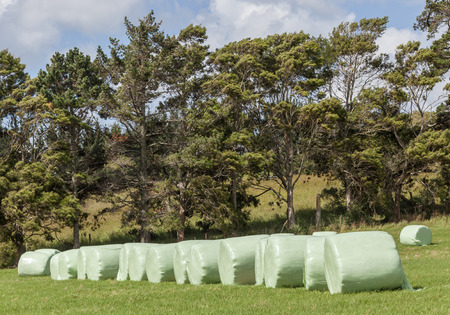 shrink wrapped: The row of white plastic wrapped silage on green farm in harvest season, in countryside New Zealand.