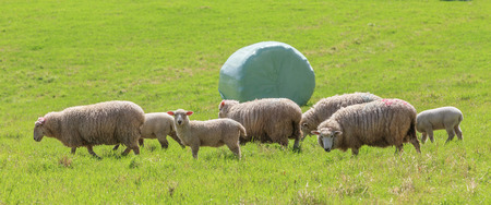 shrink wrapped: The sheep farm and white wrapped silage background in green farm summer, countryside in New Zealand.