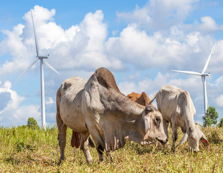Herd of cows at summer green field in wind farm background, Korat province in Thailand. photo
