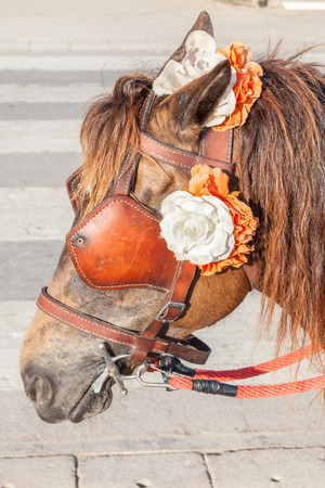blinders: Closeup the brown harness with flower decoration on pony for tourism sightseeing.