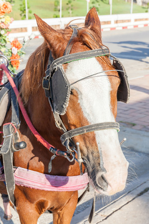 blinders: The harness pony portrait with clipping path for carriage. Stock Photo
