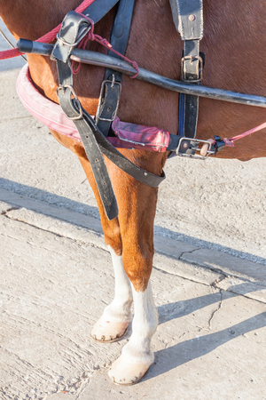 blinders: Closeup the horse legs with horseshoe and harness clipping path.