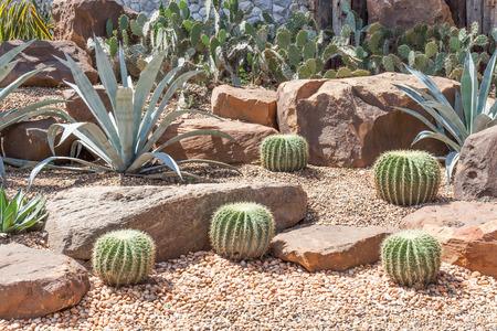 Cactus in botanical garden, model of desert garden. Фото со стока