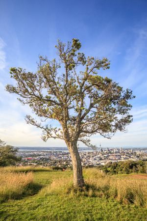 lone pine: Lone pine tree with beautiful city view background.