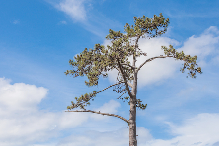 lone pine: Lone pine tree against beautiful blue sky background.
