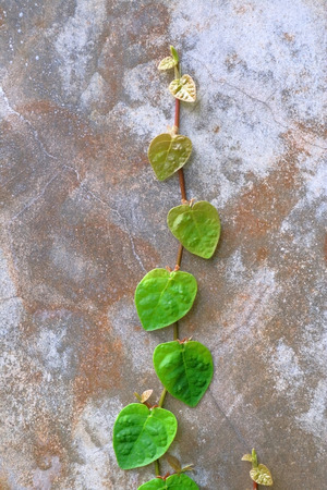 crack climb: Chain of heart -shaped green leaves on exterior concrete wall background.
