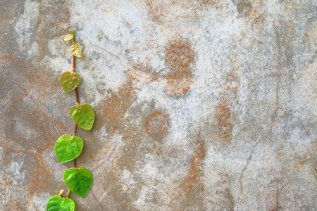 blume: Chain of heart -shaped green leaves on exterior concrete wall background.