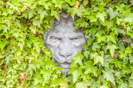 creeper: Close up Lion face statue hidden on green ivy exterior wall. Stock Photo