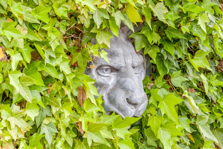 ivy wall: Lion face concrete hidden in green ivy wall, exterior decoration.