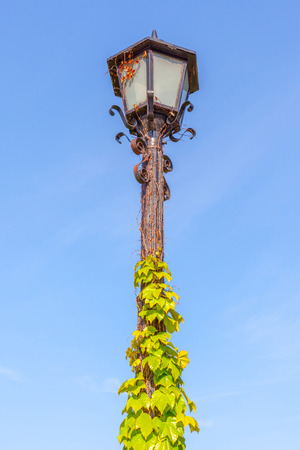 lamp on the pole: The classical street lamp pole and ivy climbing with clear blue sky background.