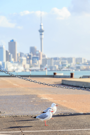 Focus on couple seagull birds with blurred background of Aucklands city. Stock Photo
