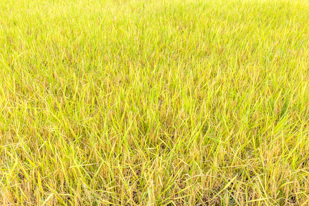 Organic rice paddy in field farm, major agriculture in Thailand. Stock Photo