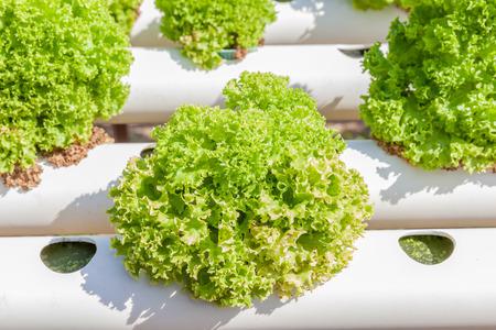 水、土なしで栄養ソリューションを使用して成長している野菜の水耕栽培農場緑の水耕栽培野菜の植栽を閉じます。