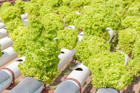 水耕栽培のサラダ野菜、水、土なしで培養液を使用して野菜の水耕栽培農場の植栽の行。