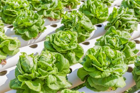 屋外水耕栽培の庭の農場、水、土なしで栄養ソリューションを使用して成長している野菜の水耕栽培システムで新鮮な有機バターヘッド レタス野菜