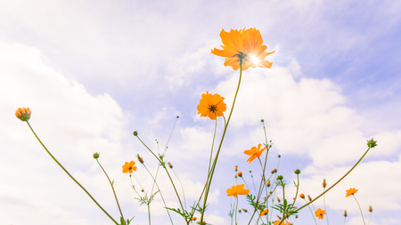 swaying: Romantic morning, yellow cosmos flowers swaying in the wind and against blue sky background.