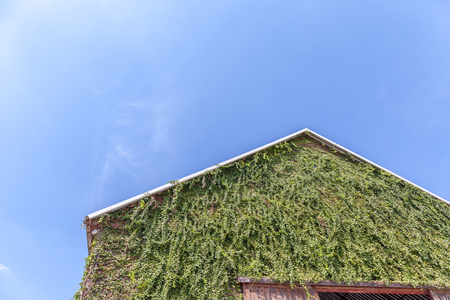 Top of a gabled roof on a wooden barn and green climbing plant on exterior wall with clear blue sky on background. Stock Photo