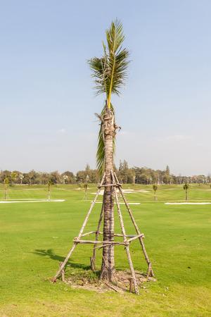 plantando arbol: Nueva plantación de árboles de palma con cuatro palos de madera para apoyar.
