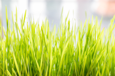 Fresh and young green wheat grass with blurred natural sunlight in background. Stock Photo