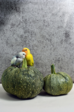 Twee papegaaien op een pompoen Stockfoto