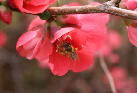 membrillo: Una abeja dentro de una flor de membrillo