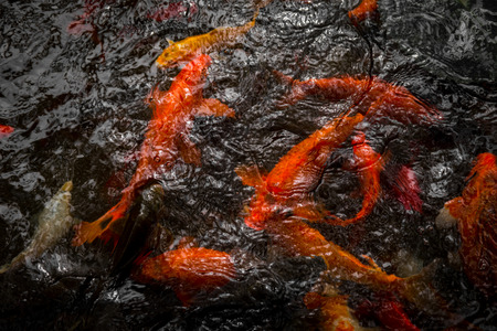 wildness: Many goldfish in the pond. China Stock Photo