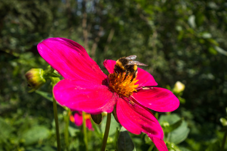 echinacea: Bumblebee pollinating a red flower Stock Photo