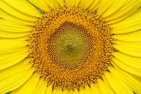 girasol: Sunflower close up