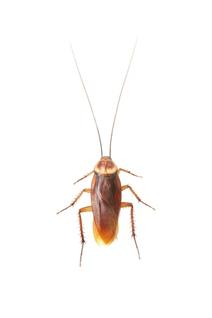 detestable: Cockroach isolated on white background