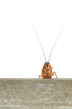 detestable: Cockroach climbing on wood plank
