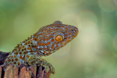 detestable: Gecko climbing on timber with green and bokeh background Stock Photo