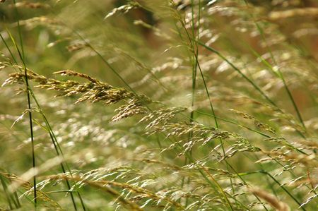 tall grass: Tall grass blowing in the breeze in a summer meadow