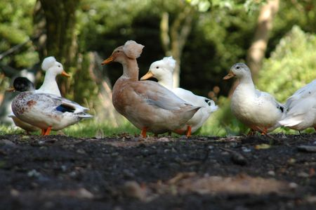 crested duck: A group of domestic ducks in the sunshine Stock Photo