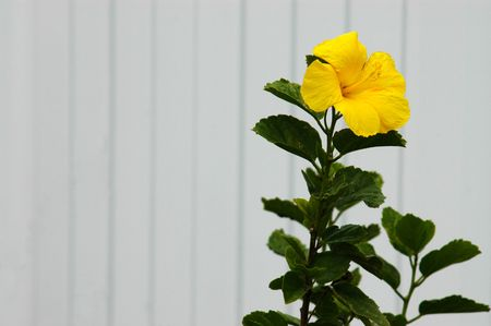 Yellow tropical hibiscus flower against a white picket fence with copy space photo