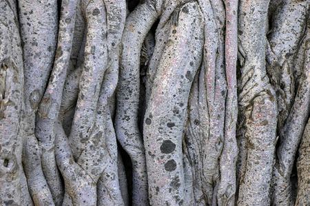 Background image of tangled vines on a tropical banyan tree (ficus benghalensis) photo