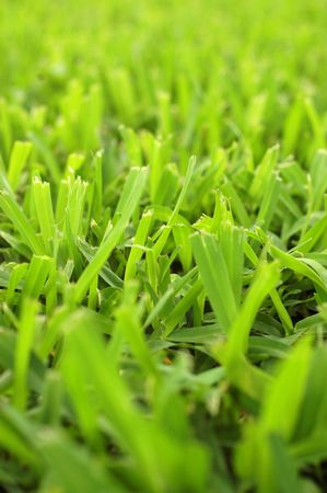 Abstract Background Texture Of Short Cut Grass On A Garden Lawn With Shallow Depth Of Focus photo