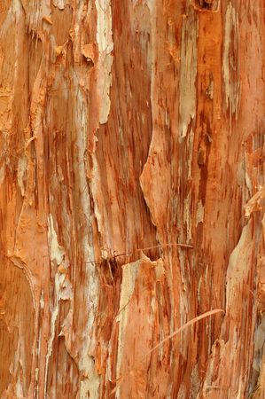 Abstract Background Texture of a Paperbark Tree (Melaleuca) photo