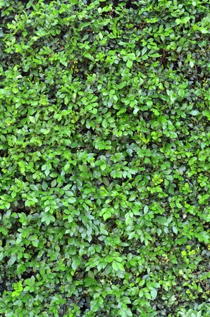 shrubs: Abstract Background Texture Of A Lush Green Hedge