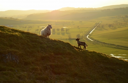 Sheep and Lamb At Dusk photo